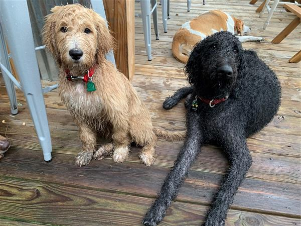 My goldendoodles, Oshie and Cooper