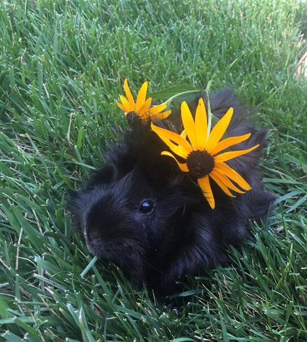 Meet our class pet Kiwi. Kiwi is a sweet guinea pig who loves sunshine and veggies.
