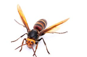 Picture of a Hornet
